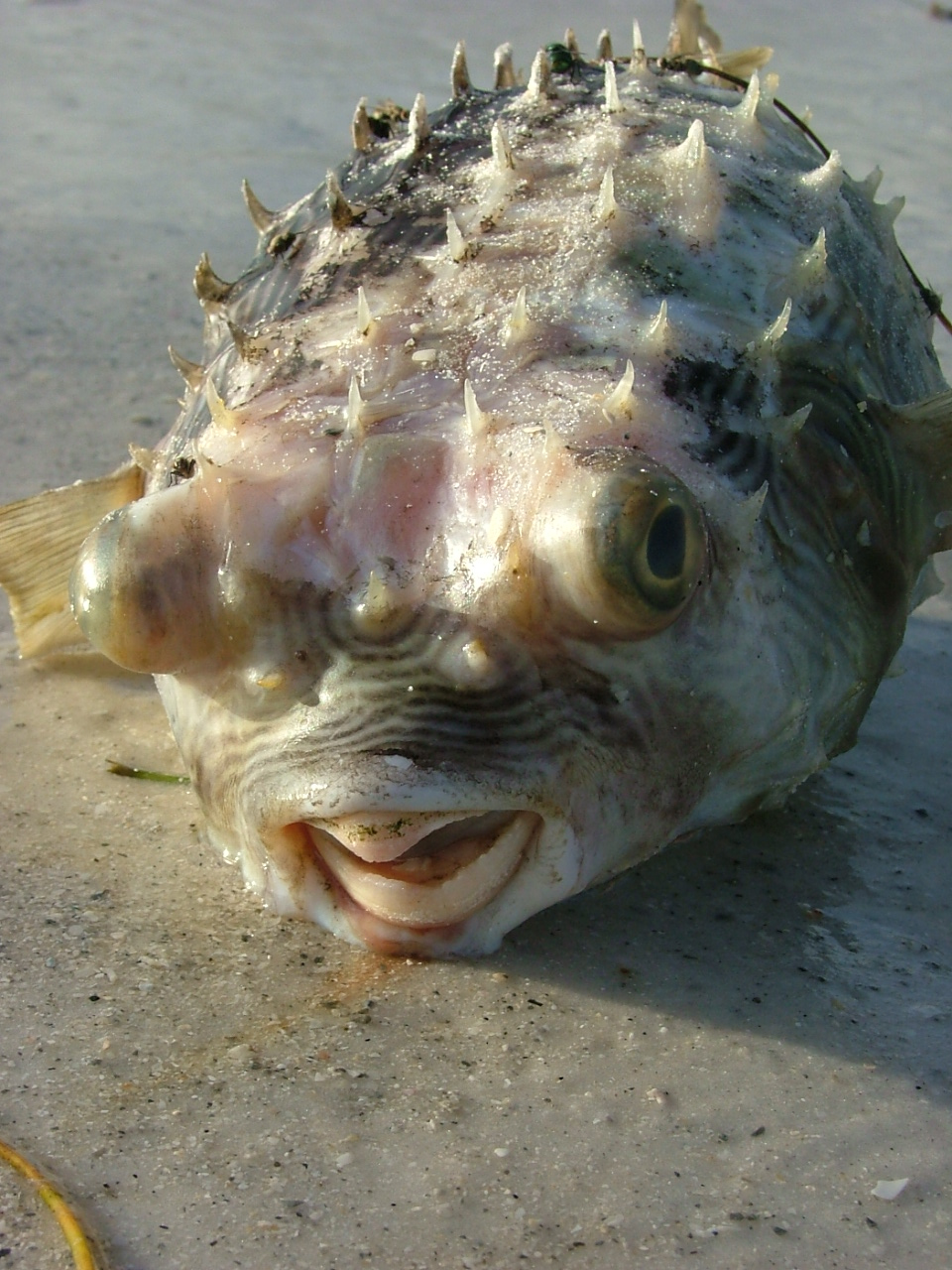 Pufferfish the sleepless veterinarian for Puffer fish florida